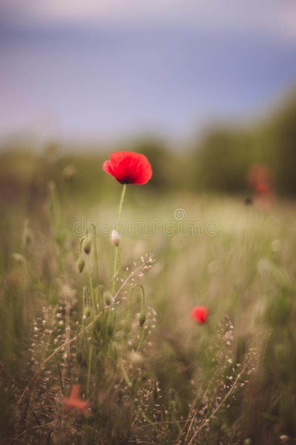 Close up of beautiful, red, blooming poppies in a natural field. Shot with vintage Helios lens 40 2 stock photography