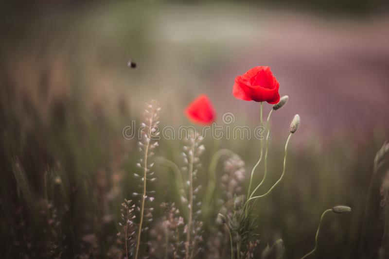 Close up of beautiful, red, blooming poppies in a natural field. Shot with vintage Helios lens 40 2 royalty free stock images