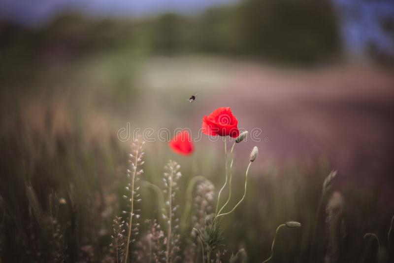Close up of beautiful, red, blooming poppies in a natural field. Shot with vintage Helios lens 40 2 stock images
