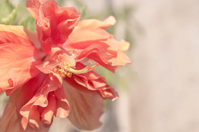 Close up beautiful red flower can be called hibiscus rosa, china stock images
