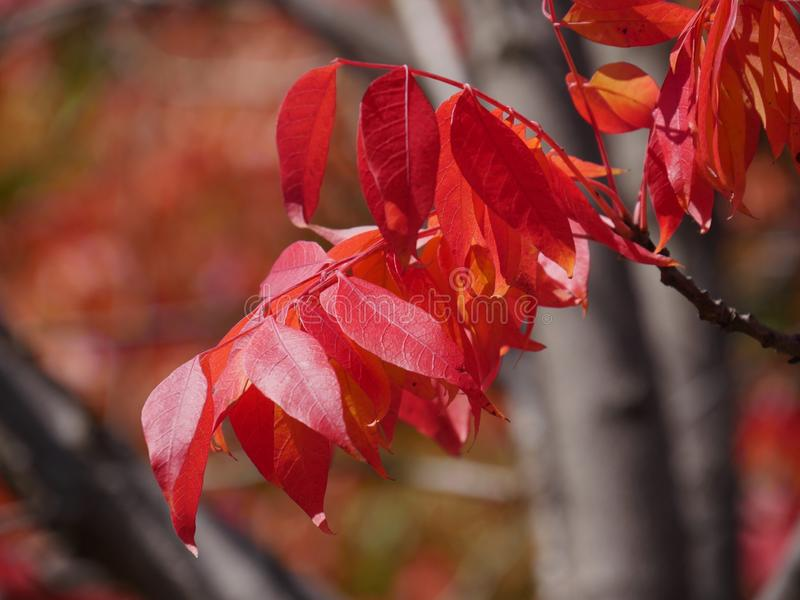 Beautiful red leaves of a tree in autumn, blurred background. Close up of beautiful red leaves of a tree in autumn, blurred background royalty free stock photo