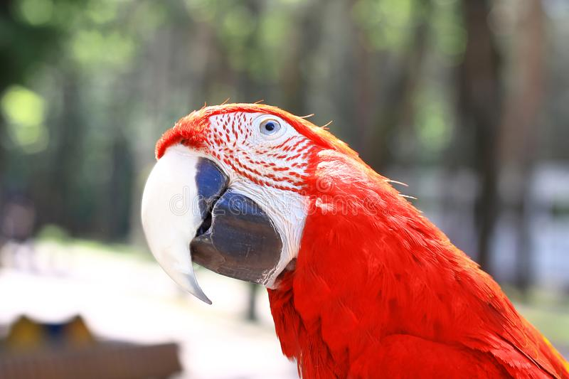 Close up.beautiful red macaw parrot looking at the camera.  stock images