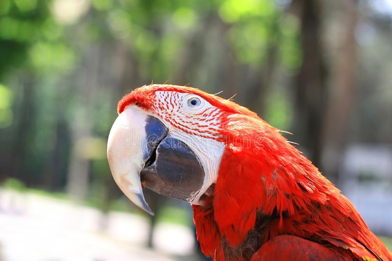 Close up.beautiful red macaw parrot looking at the camera.  royalty free stock photos