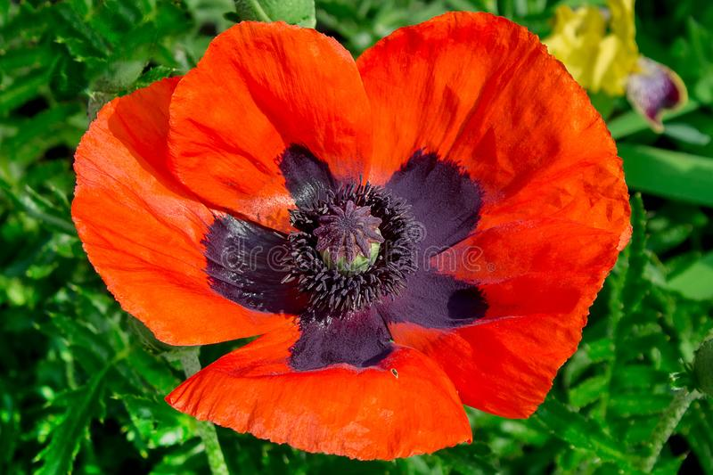 Close-up of beautiful red poppy flower stock photo