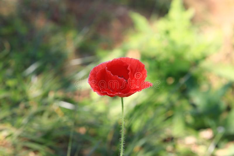 Close up beautiful red poppy flower on nature background in garden,Focus Single flower,Delicate beauty of poppy with soft sunlight stock image
