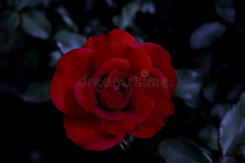 Close-up of Beautiful red rose on Dark black background. ..Elegant, nature flower that symbolizes the day of gift for celebration stock photo