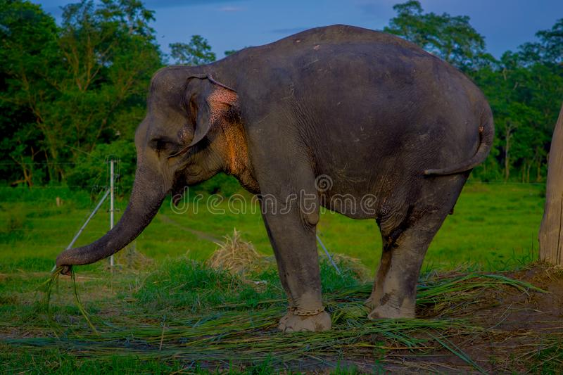 Close up of beautiful sad elephant chained in a wooden pillar at outdoors, in Chitwan National Park, Nepal, sad stock images