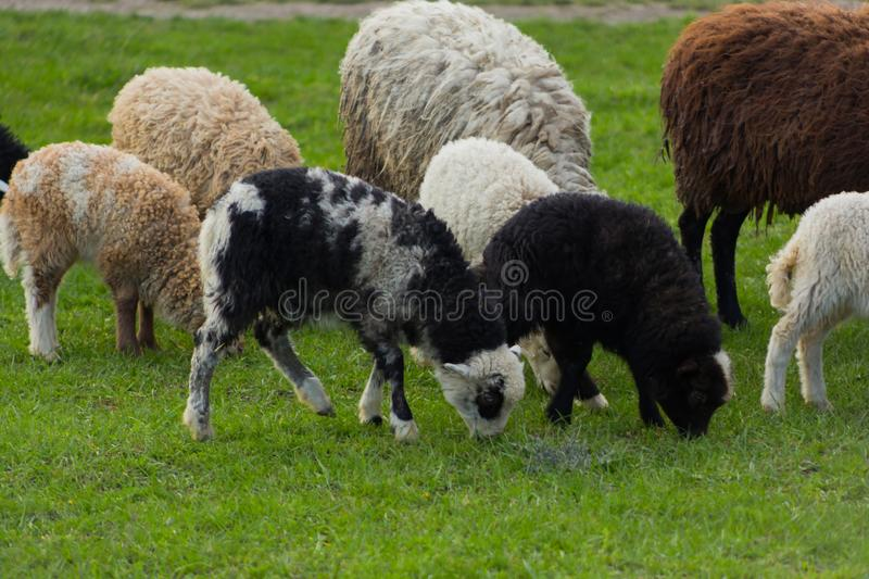 Close-up beautiful sheep graze on green meadow and nibble grass in pasture on sunny day stock photos