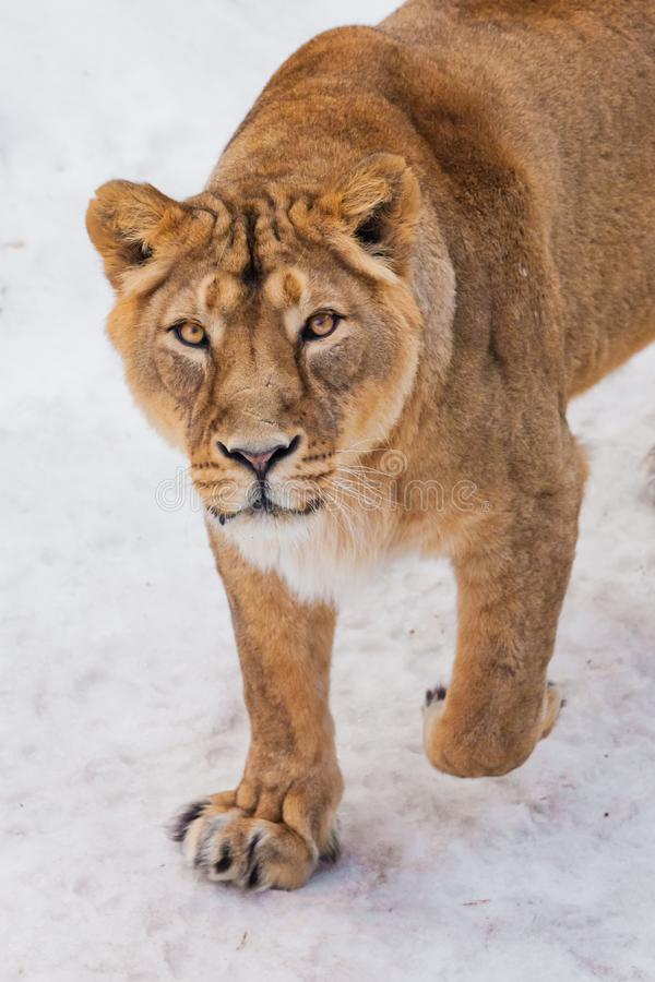 A close-up is a beautiful and strong female lioness looking at you carefully and with greed. White background - snow. The look of a big strong cat stock image