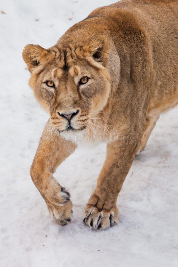 A close-up is a beautiful and strong female lioness looking at you carefully and with greed. White background - snow. The look of a big strong cat stock photography