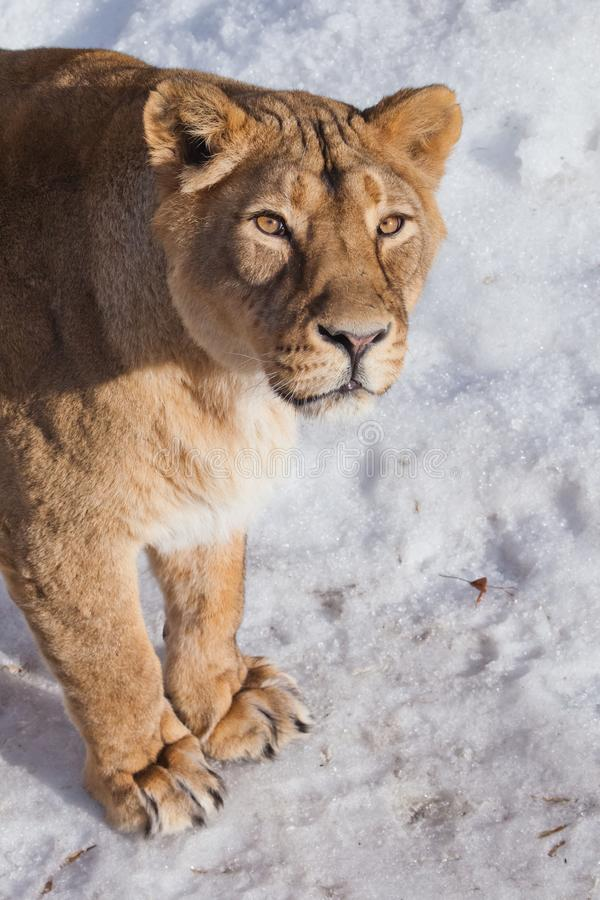 A close-up is a beautiful and strong female lioness looking at you carefully and with greed. White background - snow. The look of a big strong cat stock photos