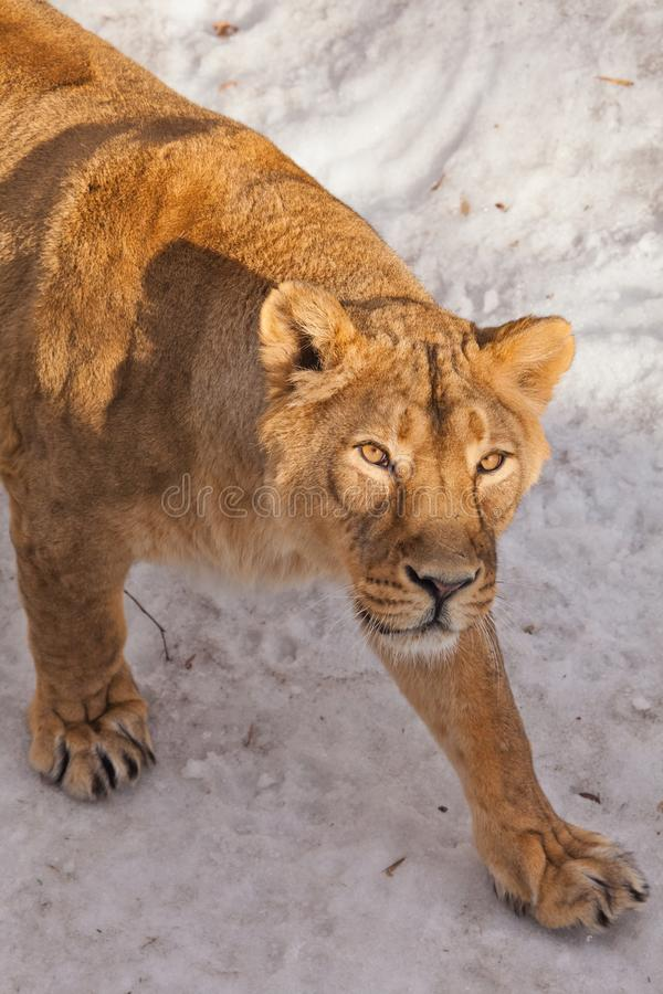 A close-up is a beautiful and strong female lioness looking at you carefully and with greed. White background - snow. The look of a big strong cat royalty free stock photo