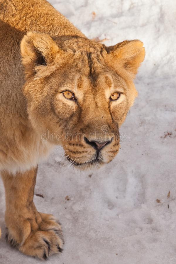 A close-up is a beautiful and strong female lioness looking at you carefully and with greed. White background - snow. The look of a big strong cat royalty free stock images