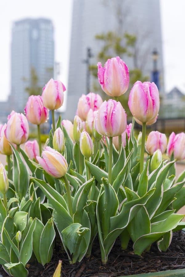 close up beautiful sweet pink pastel color tulips blooming in outdoor garden, yokohama, japan stock image