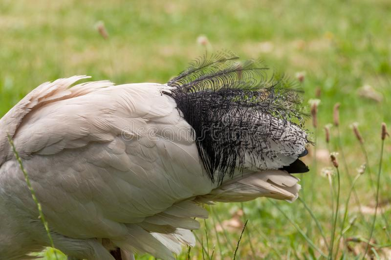 Close up of beautiful tail feathers of Sacred ibis bird royalty free stock images