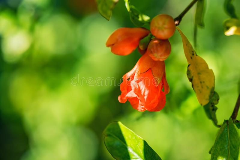 Several small red pomegranate flowers on tree. Close up beautiful tender flowers blooming on pomegranate tree royalty free stock photo