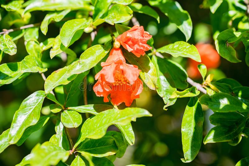 Several small red pomegranate flowers on tree. Close up beautiful tender flowers blooming on pomegranate tree royalty free stock photos