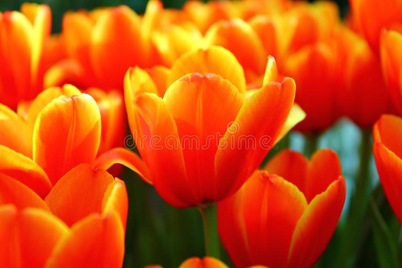 beautiful tulips in garden .the orange and yellow gradient color on flower leaves stock photos