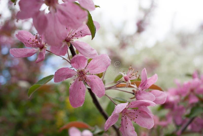 Close-up beautiful twig of gentle pale pink flowers of sakura. royalty free stock photo