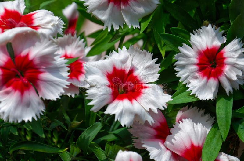 Beautiful vibrant Dianthus chinensis flowers.  white flowers with a red middle on a background of green foliage royalty free stock image