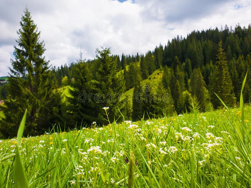 Close up beautiful view of nature green grass, carpathian mountains vegetation, meadow over fir tree background with sunlight stock photo
