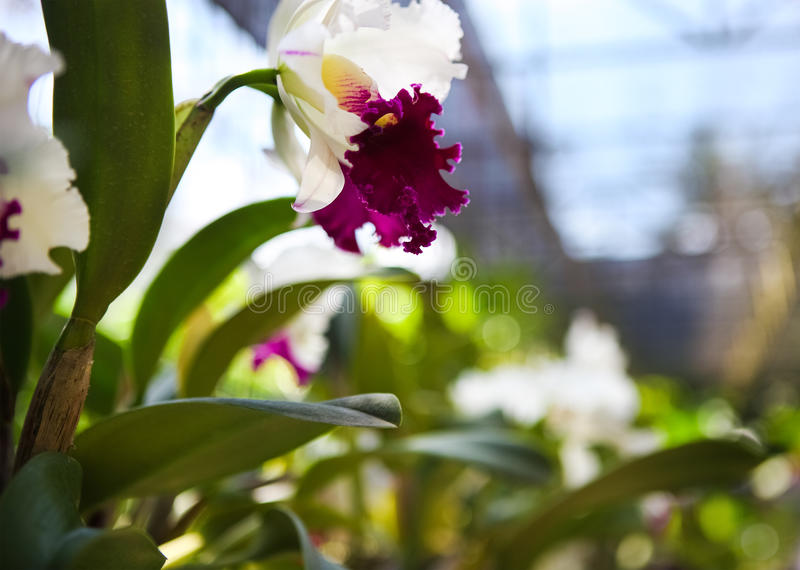 Close up of a beautiful violet and white orchids stock photo
