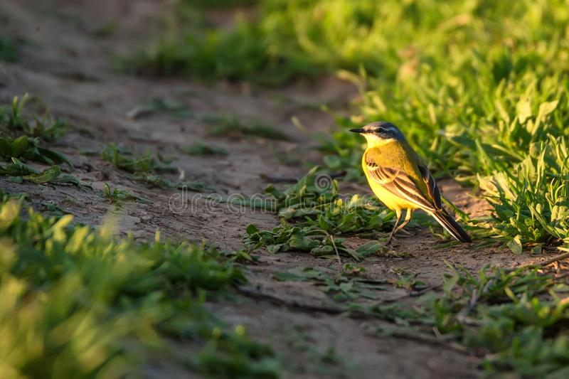 Western Yellow Wagtail or Motacilla flava on tree royalty free stock images