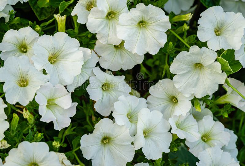 Close-up of beautiful white blooming petunia flowers Petunia hybrida. Summer flower landscape, fresh wallpaper and nature background concept stock photos