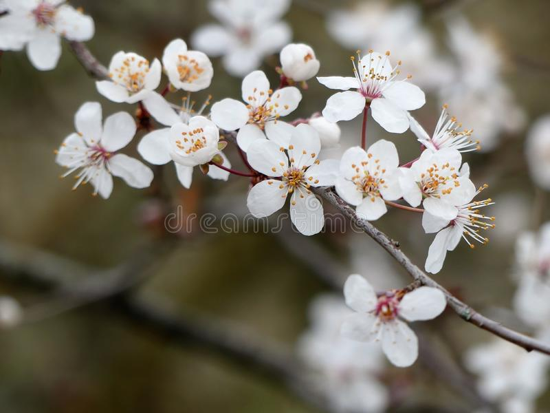 Close-up of beautiful white cherry blossom in springtime royalty free stock photos