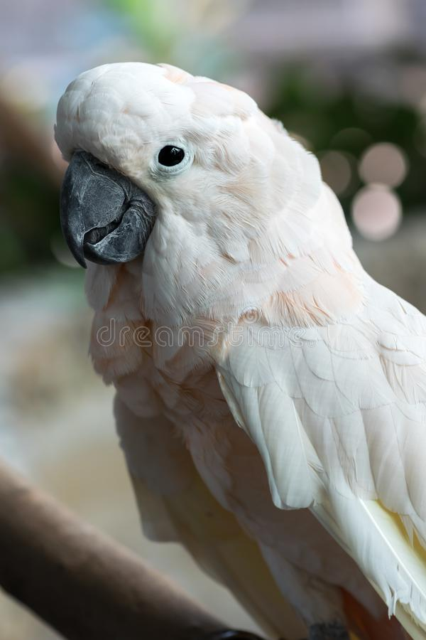 Beautiful white cockatoo Salmon-crested bird that is sticking on a branch. Close-up of a beautiful white cockatoo Salmon-crested bird that is sticking on a stock image