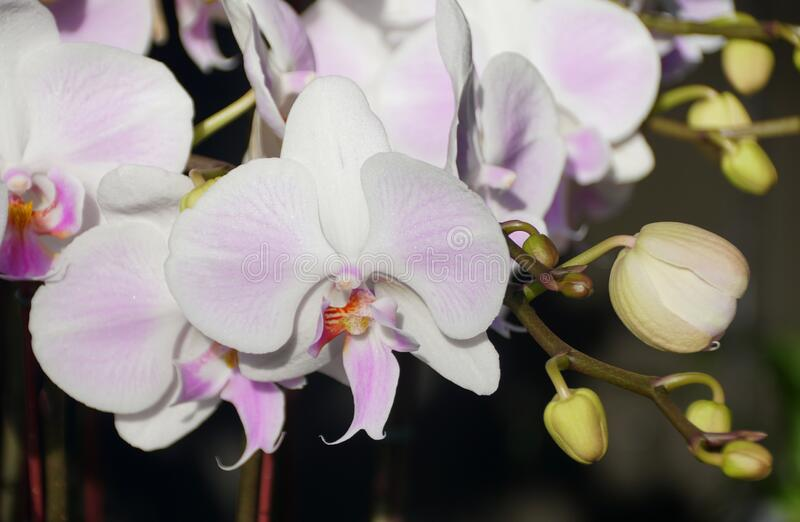 Close up of beautiful white color of Phalaenopsis orchid flowers royalty free stock photo