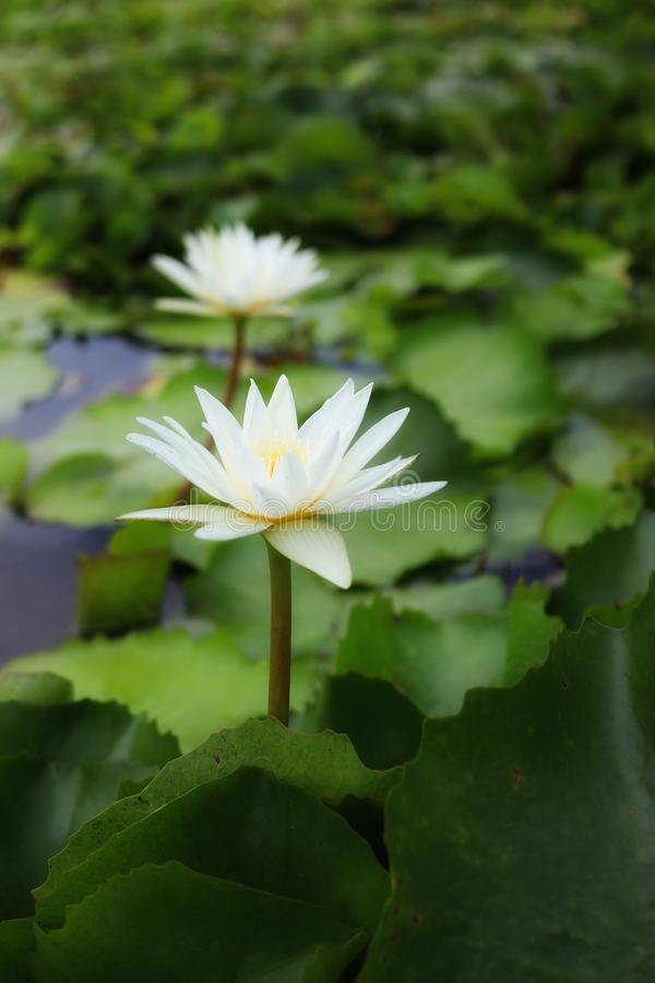 Close-up of beautiful white lotus flowers, natural blurred background. Green stock photo