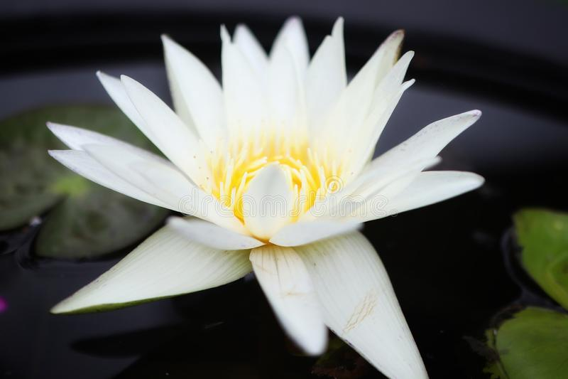 Close-up of beautiful white lotus flowers, natural blurred background. Outdoor stock image
