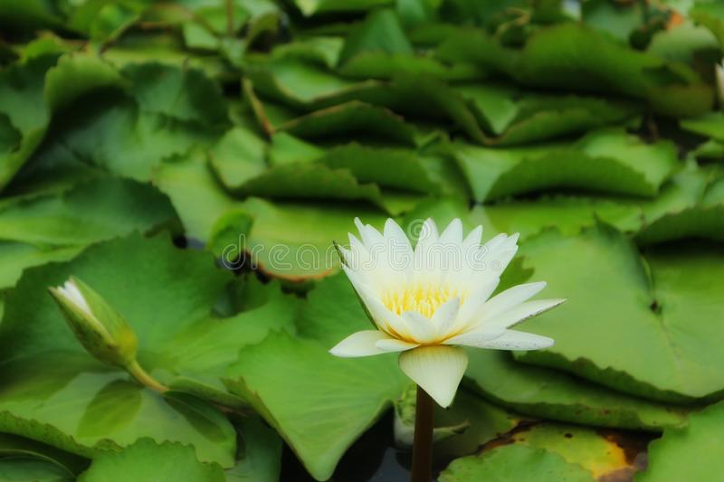 Close-up of beautiful white lotus flowers, natural blurred background. Outdoor, green stock photography