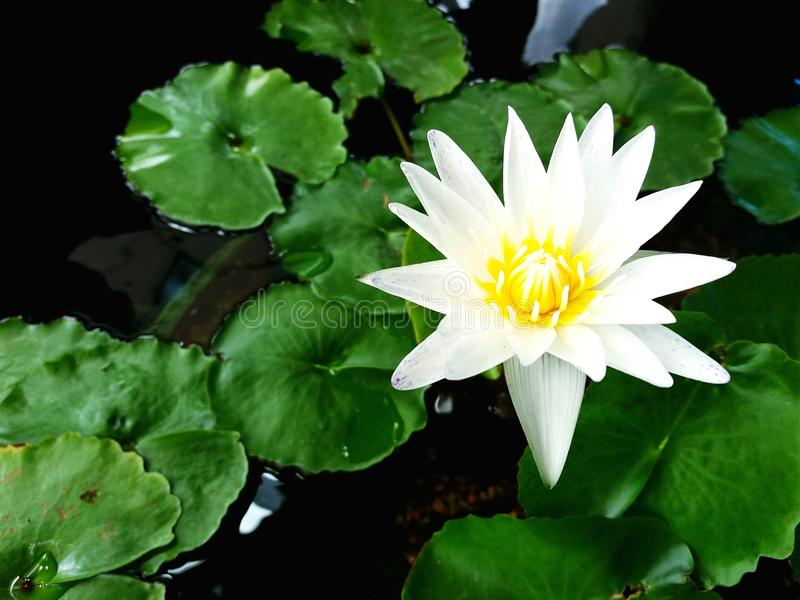 Close up beautiful white lotus or water lily on the water and green leaves background stock photos