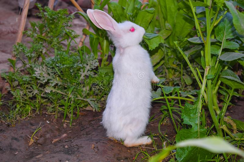 Close up of beautiful white rabbit in a garden royalty free stock image