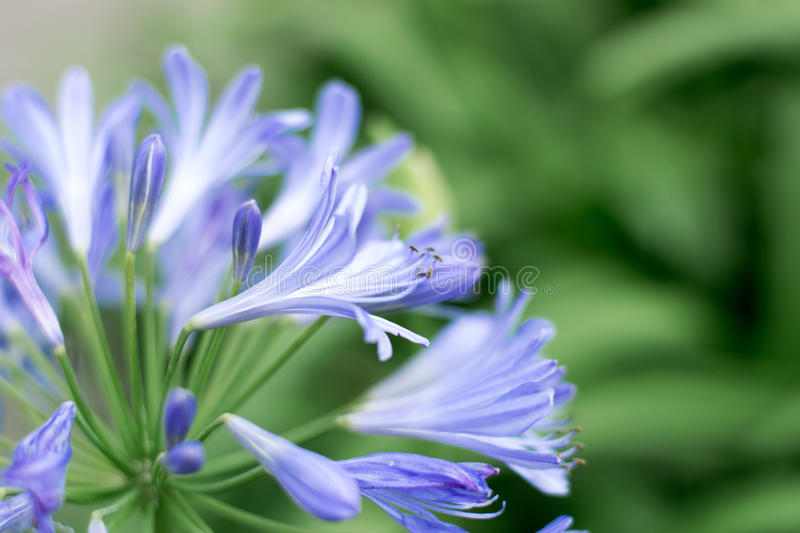 Close-up Beautiful white and soft purple agapanthus africanus flower royalty free stock photography
