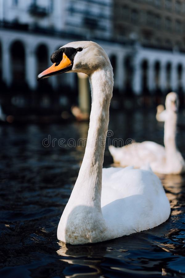 Close up of beautiful white swan swimming on Alster river canal near city hall in Hamburg royalty free stock images