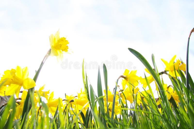 Close-up of a beautiful yellow daffodils in the backlight of the Spring Sun. View to Yellow Daffodil Narcissus Flowers on a sunn stock image