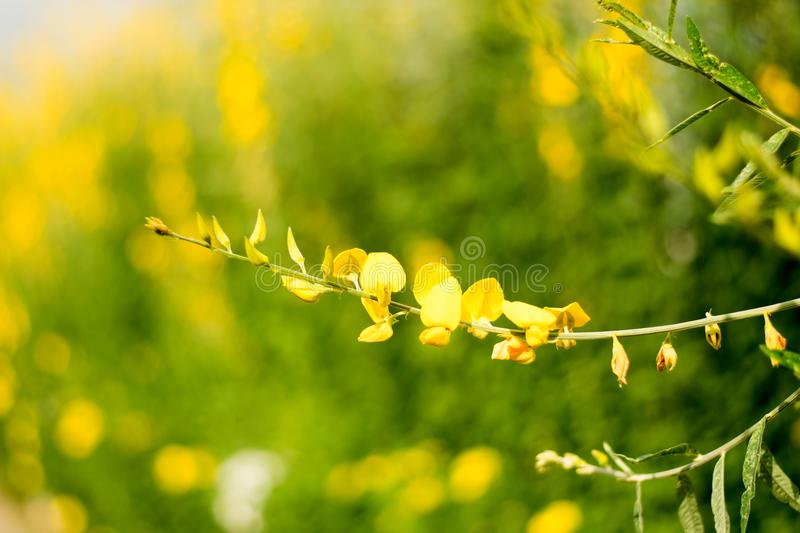 Close up Beautiful yellow Flower Crotalaria nature blossom royalty free stock image