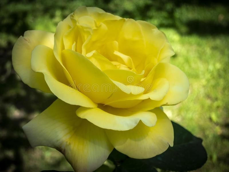 Close-up of beautiful yellow rose Gloria Dei on a blur green background.  stock image