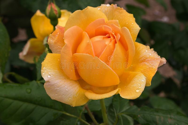 Close up of beautiful yellow rose, the symbol of jealousy royalty free stock photography