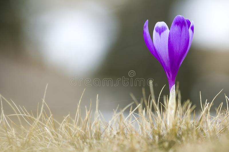 Close-up of beautifully blooming bright violet crocus standing proudly alone in dry grass, meeting morning sun in Carpathian mount. Ains. Protection of nature royalty free stock photo