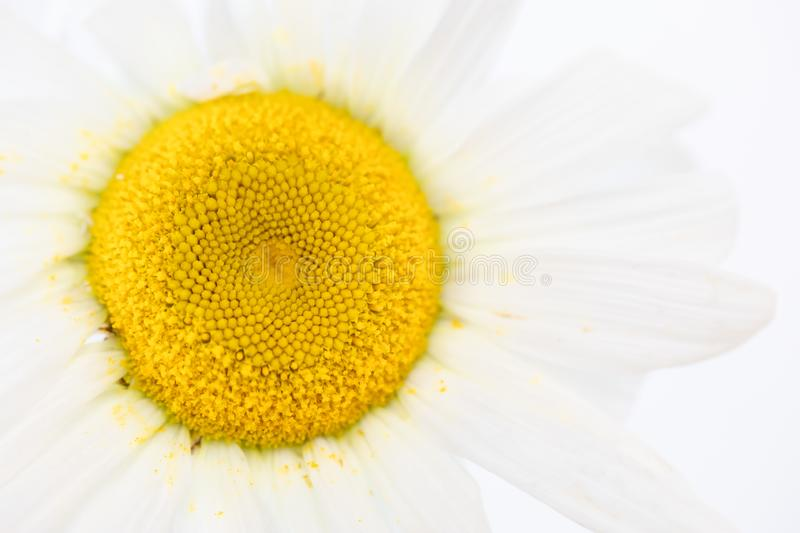 Close up of beauty a Daisy white flower with yellow pollen dirty on petal. Nature textture background or wallpaper stock image