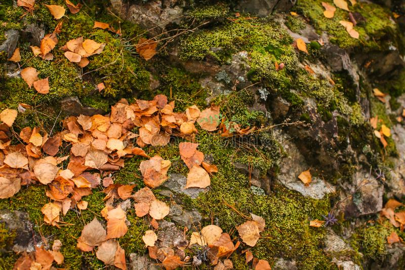 Close up beautyful moss in autumn forest. Old gray stones with green moss and orange fallen leaves texture background stock photo