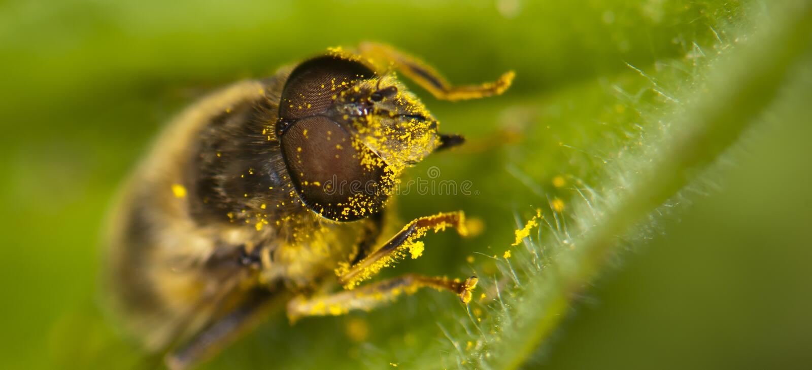 Close up from a bee royalty free stock photography
