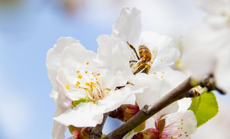 Close-up of bee on almond tree pink-white blossoms shot in early royalty free stock photos