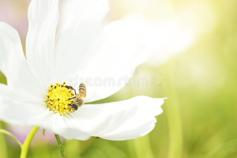 Close up bee collecting pollen from white cosmos flower with blurry background royalty free stock photos