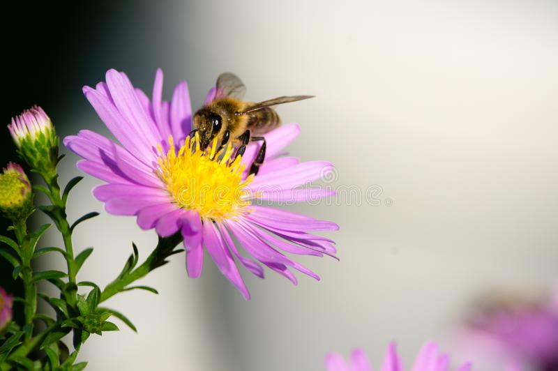 A close-up of a bee collects nectar on a European Michaelmas-daisy royalty free stock photo