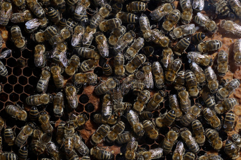 Download Close up of bee family stock image. Image of brown, working - 11326745